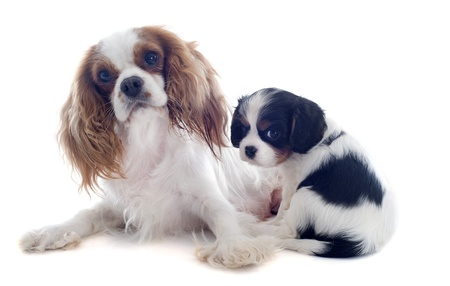 mother blenheim cavalier king charles and puppy in front of white background Stock Photo - 19256088