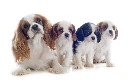 family cavalier king charles tricolor and blenheim in studio Stock Photo - 19256084