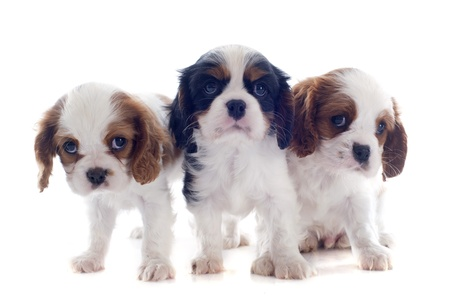 young puppies cavalier king charles in front of white background Stock Photo - 19256098