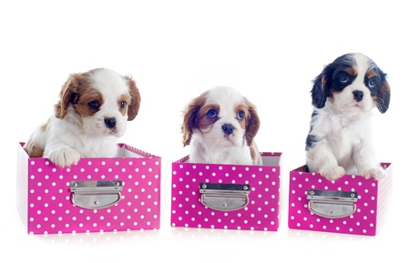 puppies cavalier king charlesin box  in front of white background Stock Photo - 19256085