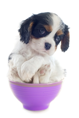puppy cavalier king charles in a bowl in front of white background photo