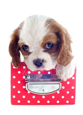 young blenheim cavalier king charles in a craft in front of white background Stock Photo - 19256095