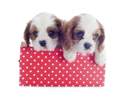 puppies blenheim cavalier king charles in front of white background Stock Photo - 19256090