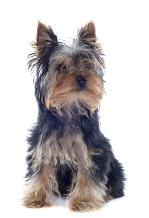 portrait of a puppy yorkshire terrier in front of white background Stock Photo - 19256092
