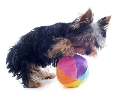 portrait of a puppy purebred yorkshire terrier who playing with a ball  in front of white background Stock Photo - 19256094