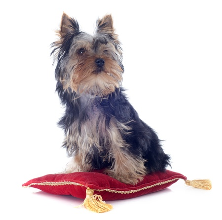 portrait of a puppy yorkshire terrier on a red cushion in front of white background Stock Photo - 19256099