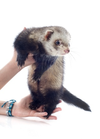 portrait of a male ferret holding in hand in front of white background Stock Photo - 19256087