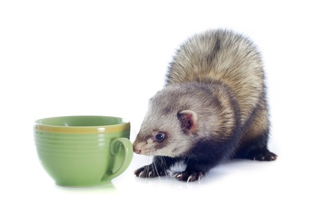 portrait of a male ferret smelling a bowl in front of white background Stock Photo - 19256083