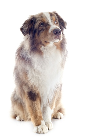 purebred australian shepherd  in front of white background Stock Photo - 19256086
