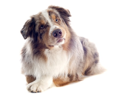 purebred australian shepherd  in front of white background Stock Photo - 19256101