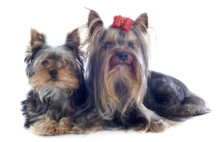 portrait of a purebred puppy and adult yorkshire terrier in front of white background Stock Photo - 19256121