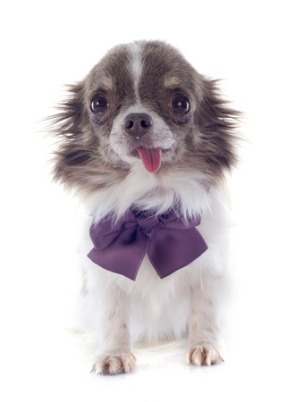 portrait of a cute purebred  puppy chihuahua with collar in front of white background Stock Photo - 19336646