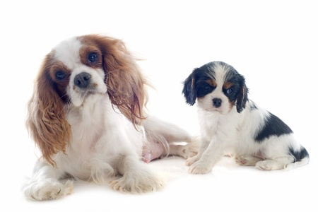 young blenheim cavalier king charles and her puppy in front of white background Stock Photo - 19336652