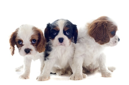 puppies cavalier king charles in front of white background Stock Photo - 19336667