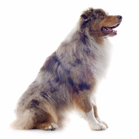 purebred australian shepherd  in front of white background Stock Photo - 19336676