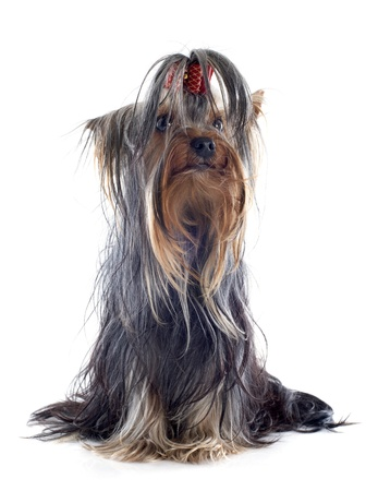 portrait of a purebred yorkshire terrier in front of white background Stock Photo - 19336671