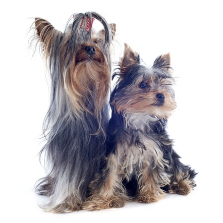 portrait of a purebred yorkshire terrier, adult and puppy in front of white background Stock Photo - 19336677