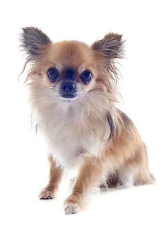portrait of a cute purebred  chihuahua in front of white background Stock Photo - 19336666