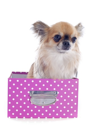 portrait of a cute purebred  chihuahua in box  in front of white background Stock Photo - 19336668