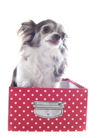 portrait of a cute purebred  chihuahua in box  in front of white background Stock Photo - 19336664