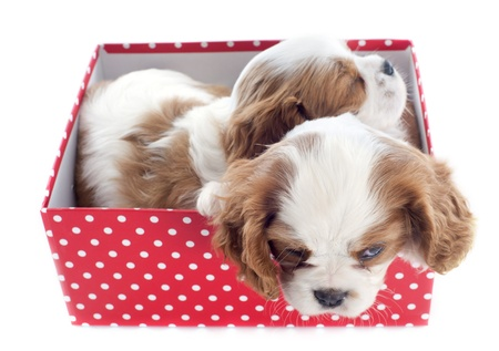 young blenheim cavalier king charles sleeping in a box in front of white background Stock Photo - 19490546