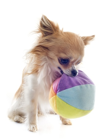 portrait of a cute purebred  chihuahua and ball in front of white background Stock Photo - 19490556