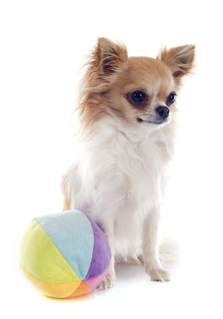 portrait of a cute purebred  chihuahua in front of white background Stock Photo - 19490551