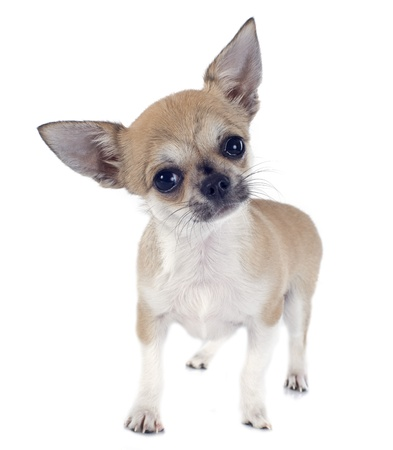 portrait of a cute purebred  puppy chihuahua in front of white background Stock Photo - 19490554