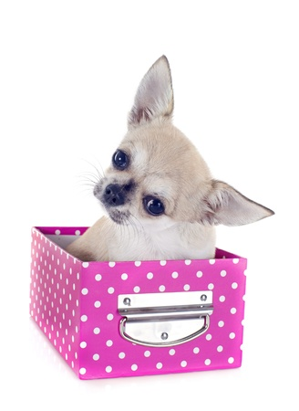 portrait of a cute puppy  chihuahua in box  in front of white background Stock Photo - 19490544