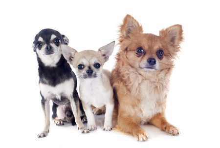 portrait of a cute purebred chihuahuas in front of white background Stock Photo - 19490547