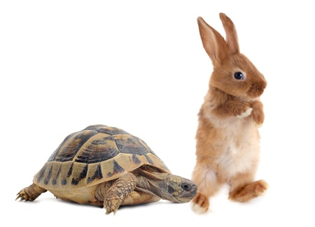 white rabbit: Testudo hermanni tortoise and rabbit make a race on a white isolated background