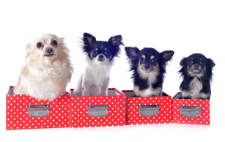 portrait of a cute purebred  chihuahuas in box  in front of white background Stock Photo - 19756097