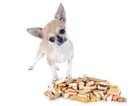portrait of a cute purebred  puppy chihuahua eating dry food in front of white background Stock Photo - 19756053