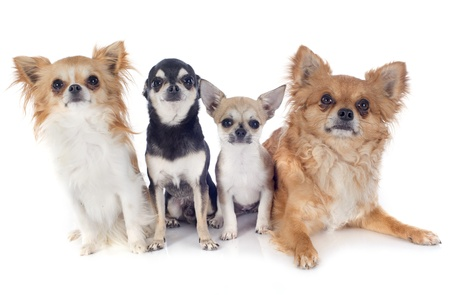 portrait of a cute purebred chihuahuas in front of white background photo
