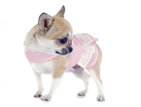 portrait of a cute purebred  puppy chihuahua with dress in front of white background Stock Photo - 19756050