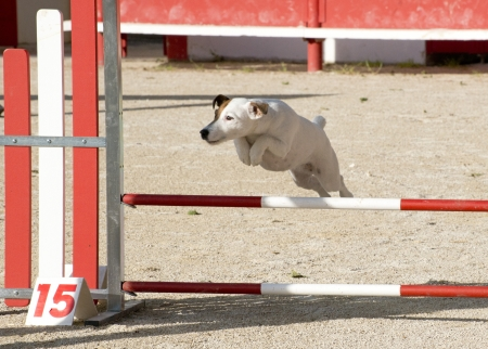portrait of a purebred jack russel terrier in a competition of agility Stock Photo - 19756110