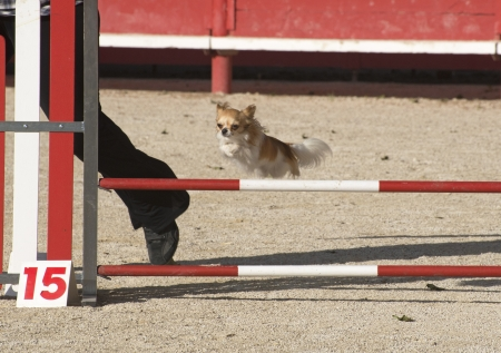 portrait of a cute purebred chihuahua in a competition of agility Stock Photo - 19756268