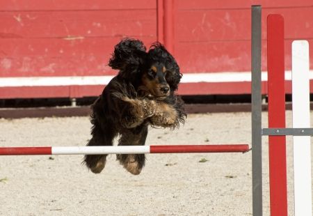 purebred cocker spaniel in a competition of agility Stock Photo - 19756186