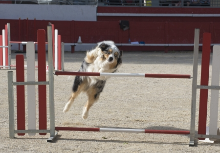 australian shepherd: purebred australian shepherd  in a competition of agility