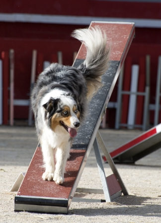 purebred australian shepherd  in a competition of agility Stock Photo - 19756251