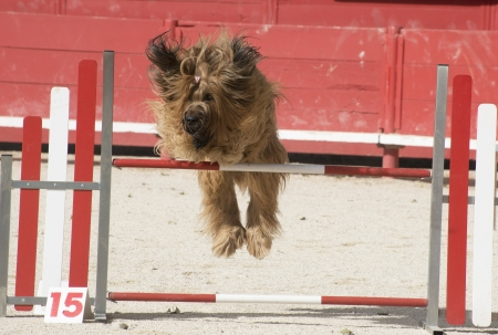portrait of a purebred french sheepdog briard in agility Stock Photo - 19756252