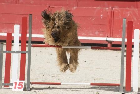 portrait of a purebred french sheepdog briard in agility Stock Photo - 19756252