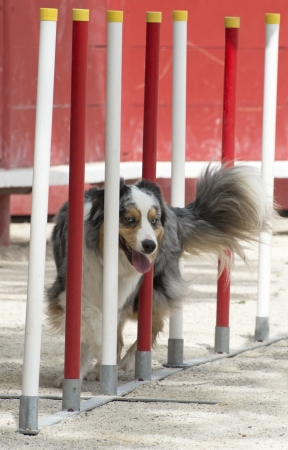 purebred australian shepherd  in a competition of agility Stock Photo - 19756093