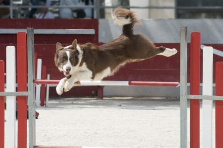 jumping purebred  border collie in a competition of agility Stock Photo - 19756057