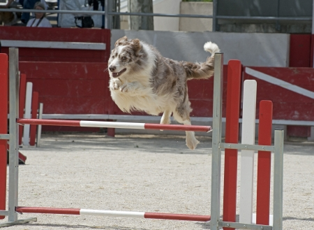 jumping purebred  border collie in a competition of agility photo