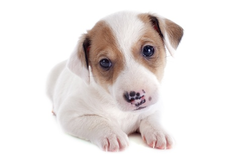 portrait of a purebred puppy jack russel terrier in studio Stock Photo - 19756067