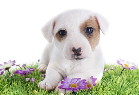 portrait of a purebred jack russel terrier laid down on the grass in studio Stock Photo - 19756163