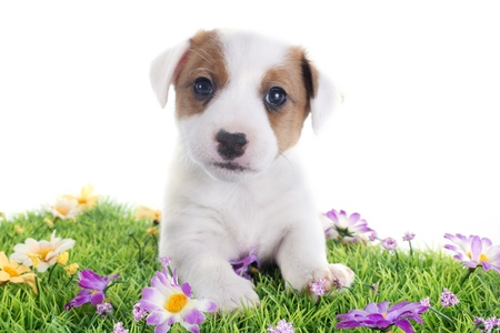 portrait of a purebred puppy jack russel terrier in studio Stock Photo - 19756032