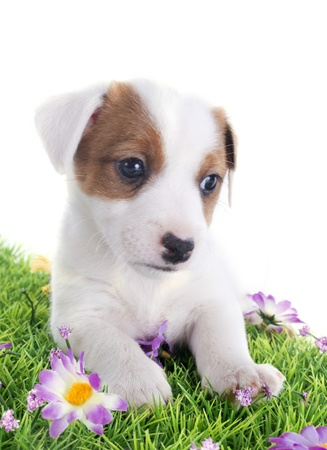 portrait of a cute puppy jack russel terrier  in front of white background Stock Photo - 19756196