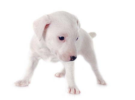 portrait of a purebred puppy jack russel terrier in studio Stock Photo - 19756049